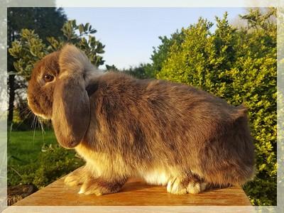 elevage de lapins nains beliers minilop loutre havane