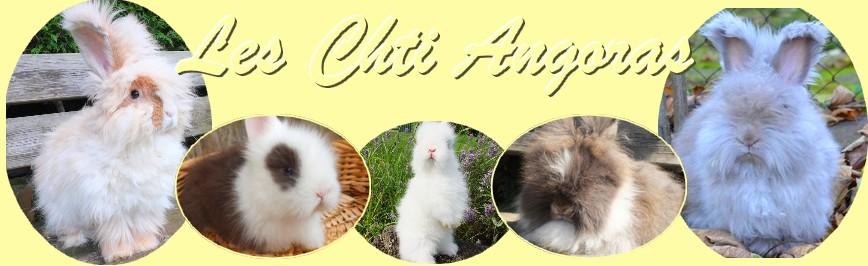 elevage de lapins nains angoras et lapins angoras anglais dans le Nord